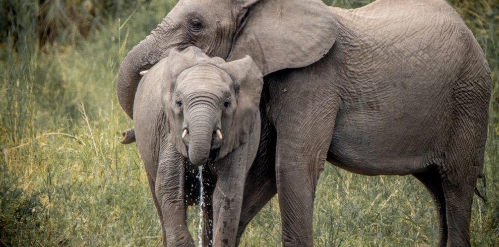 Drinking Elephants in the Kruger National Park, South Africa.